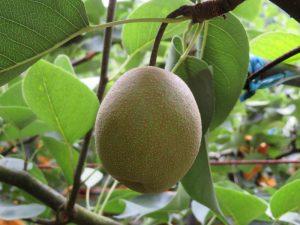 マンゴー梨