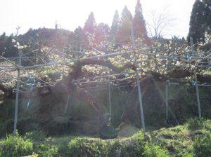 樹齢百余年の二十世紀梨