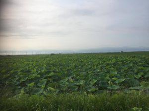 古代れんこん畑②