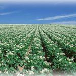 北海道の広大なジャガイモ畑