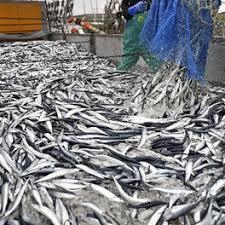 サンマ豊漁のニュース