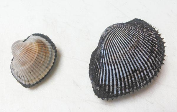 赤貝とサルボウガイの比較