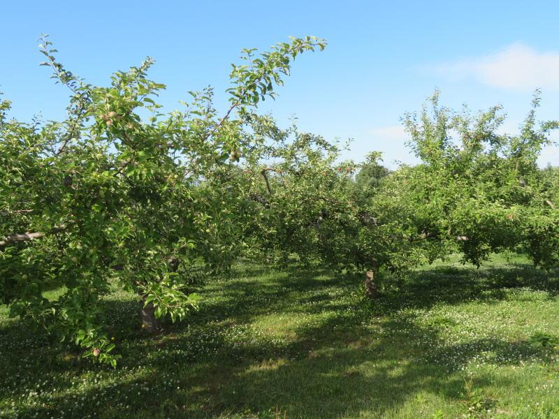リンゴ園③