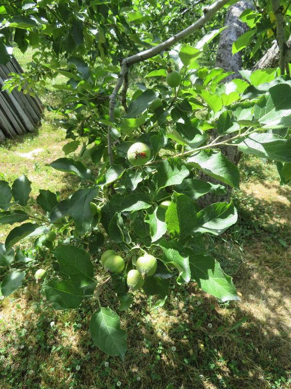リンゴ園④