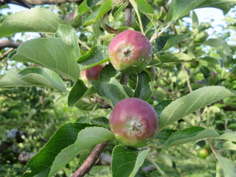リンゴ園⑤